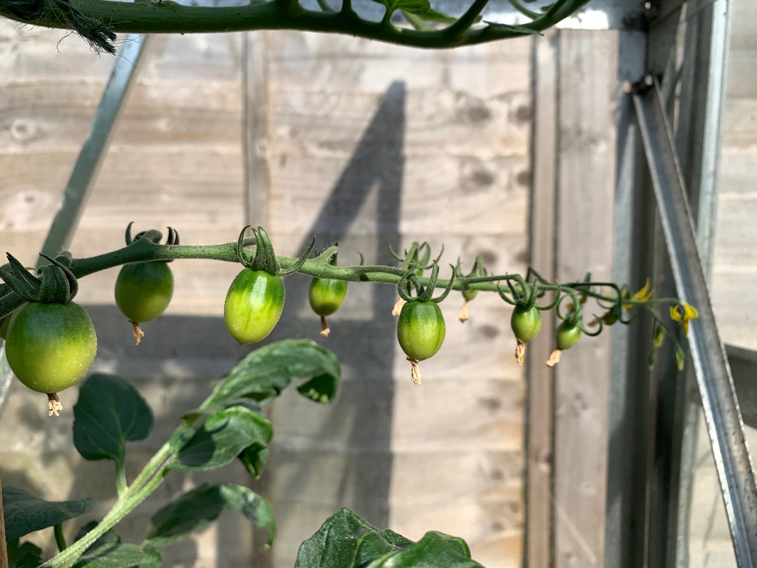 Young green tomatoes on the vine